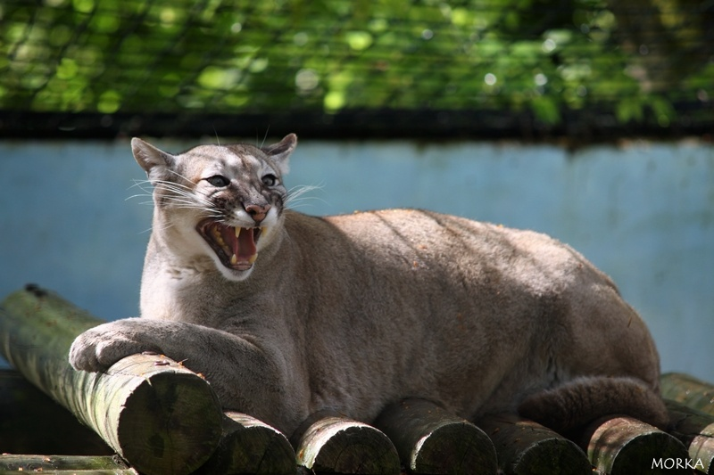 Puma, Zoo de Beauval