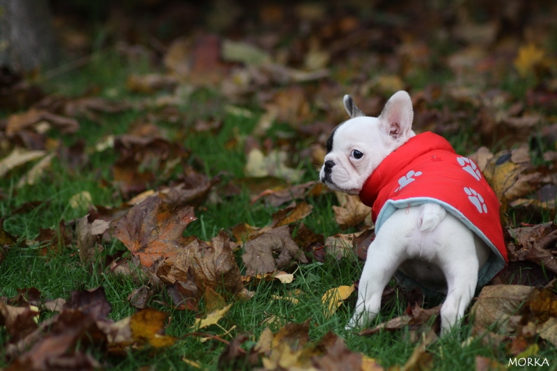 Hoxane, French bulldog (8 weeks)