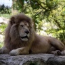 Lion blanc, Zoo de Beauval