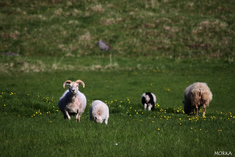 Icelandic sheeps